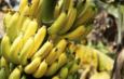 В Узбекистане начали выращивать бананы в теплицах