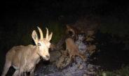 Фотоловушки в Чон-Алае: На кадр попали медведь, снежный барс и горные козлы